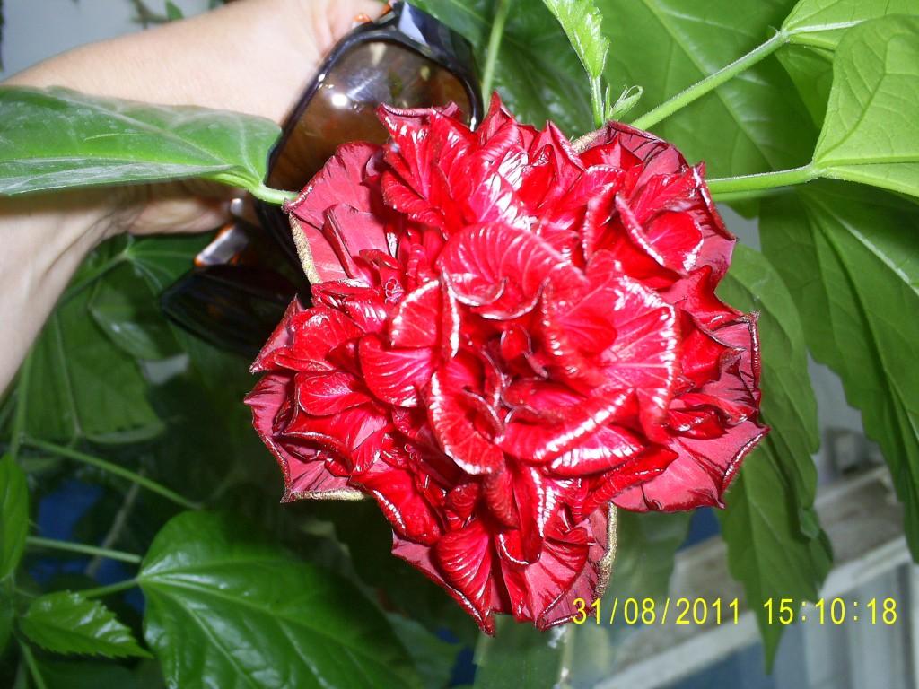 китайская роза  садовая