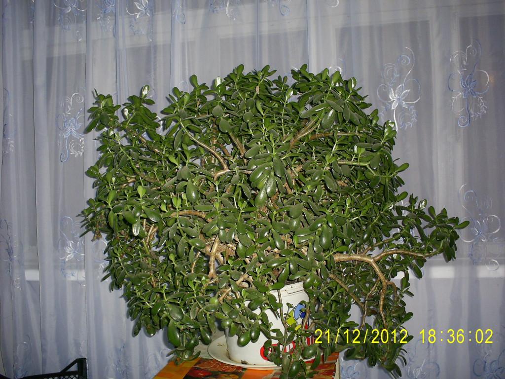 Денежное дерево, толстянка