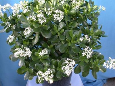 денежное дерево цветет редко